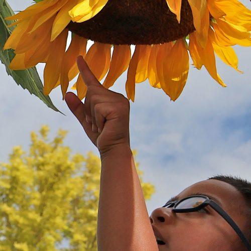 Preschool boy reaching for sunflower